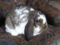 Mini Lop Broken Chestnut Junior Buck. Born May 2011.
