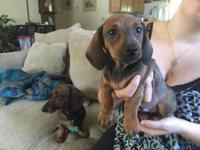 Cute, friendly bundle of energy sable male Doxie.