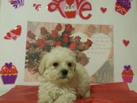 MINI MALTIPOO PUPPIES 2 males lef Dewormed and 1st set