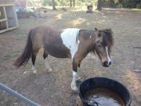 5 yr old registered paint miniature mare. She can be