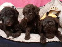 We have a heavenly litter of Mini Doodles. 6 Females(3