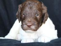 Tessa, a chocolate Labradoodle, was bred to Nacho, a