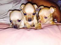 Tea cup chihuahuas female & male . 8 weeks old. too