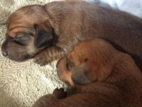 . Hey there. I have two miniature dachshund boy puppies