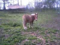 I have a 2 year old mini mule for sale. He is halter