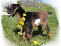 We raise MiniNubian goats from quality show and milk