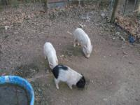 I am rehoming my breeding pair of mini pigs. My female