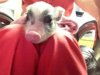 I have a mini pig for sale. She will just get to be