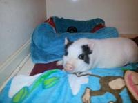 I have a 3 1/2 month old micro pig little girl that I