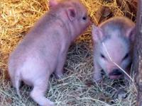 2 female mini pigs, will be small adults. Ready to go