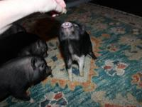 We have available mini piglets. Parent pigs are