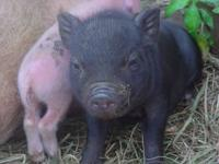 I have 2 new litters of mini pigs for sale. males and