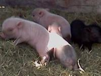 Baby mini pigs. 7 white & 1 black. Will be 25 / 30 lbs