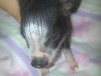 I have 1 pink female,1 blk/wht female and 1 tiny