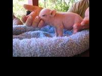 Mini Potbelly Piglets are available to reserve. One is