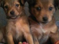 I have 8 Mini Pin/Sheltie Mix puppies that need a