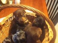 For sale mini pins mom is a merial dad Black and Tan.