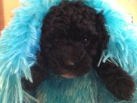 I have a beautiful pure bred mini poodle baby ready for
