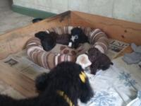 4 mini poodle puppies, raised in the house and being