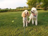 Mini Poodle Puppies;. 3 males, 10 wks old. Puppies have