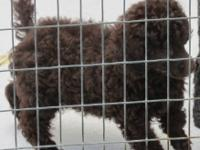 Two beautiful choc male poodle pups they are CKC