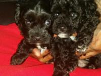 I have 2 adorable mini poodles. Both males. 8 weeks old