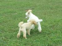 We have 3 male mini poodles for sale. They are all