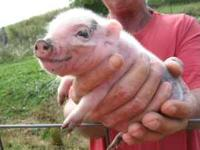 I have mini pot bellied pigs for sale. will be ready in