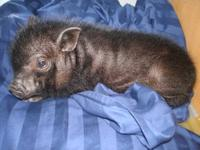 He is a male mini pot belly pig who was born June 17,