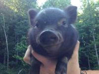 Research pigs as pets first. Pigs make excellent pets