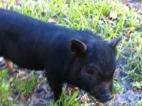 I am selling my mini potbelly pig. He is 12 weeks, born