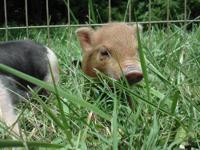 i have some mini potbelly piglets i am selling. i have