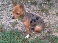 Small merle rat terrier. He weighs less than 9lbs and