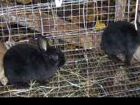 Black Walnut Farm has lots of bunnies avail. Ages begin