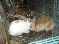 I have 2 female Mini Rex bunnies for sale. They are 8