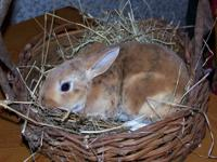 Purebred MIni Rex bunnies available born on November