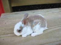 We have two litters of Mini Rex bunnies to choose from.