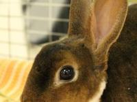 Mini Rex - Clove - Small - Adult - Male - Rabbit I'm