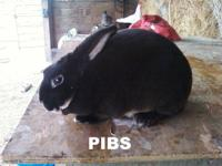 I am selling 4 rabbits. 2 Mini Rex Otters (Pibs - buck,