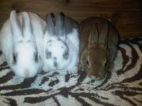Got 3 litters of baby mini rex bunnies! they are very
