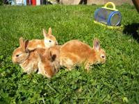 4 Mini Rex bunnies for sale. 5 weeks old. $15.00 each