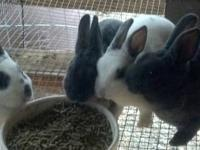 Mini Rex Rabbits. All born 10.20.2012. One black buck.