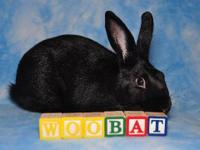 Mini Rex - Woobat - Medium - Young - Male - Rabbit