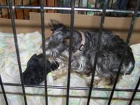 I have a VERY CUTE mini schnauzer akc male puppy. Mom
