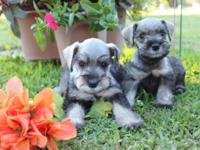 Mini Schnauzer purebred puppies so no AKC papers Salt