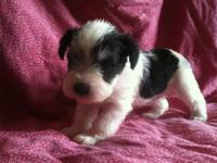Gorgeous male salt and pepper parti boy and 3 females