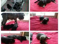 AKC registered small schnauzer puppies for sale 2 boys