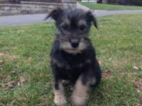Thanks for looking we have pure bred mini schnauzer