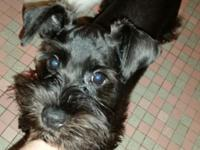 Akc Female Minuature Schnauzer puppy 3 1/2 months old.