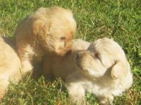 Registered mini schnoodle puppies, born the 8th of
